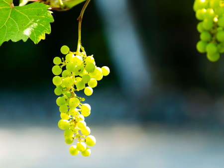 Green grapes hanging on the vine at a vinyard close up. Imagens - 153014108