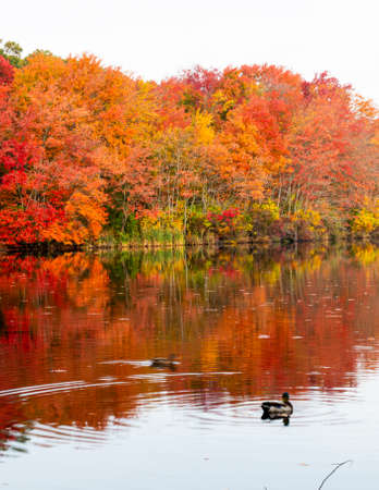 Red, orange and yellow fall leaves around a lake with ducks in the water. Imagens