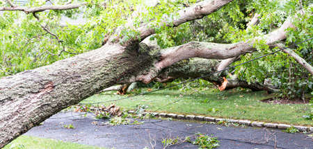A large tree lying across a residential driveay with electric and clable wires under the tree after a strong wind storm.