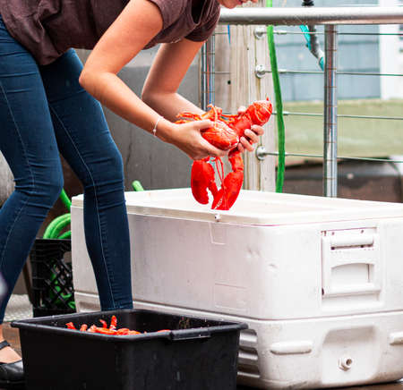 A waitress in a restaurant in Port Clyde Maine hand picks her customers fresh steamed lobsters out of the bin immediatly after the lobsters are cooked.