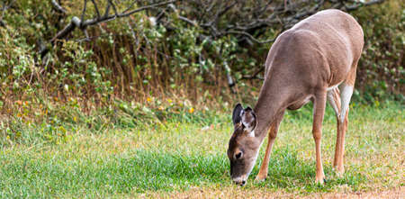 Young deer eating grass surrounded by green brush and trees on Fire Islands National Sea Shore.