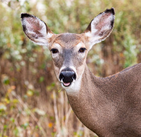 Front view of a close up of a young deers gface looking straight at the camera on Fire Islands National sea shore.