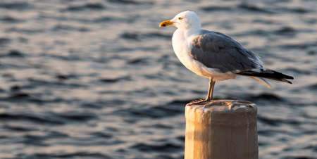 Seagull standing on a wooden pylon with a little glow of the sun rising with blurred bay of water in background. Imagens