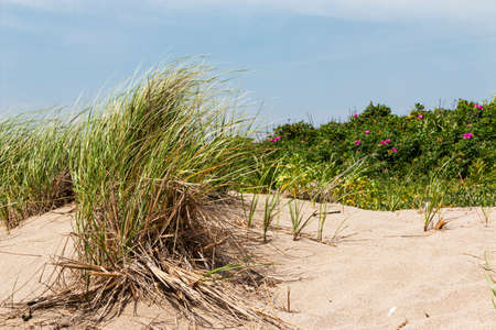 The beach grass is blowing on a windy day by the dunes in Narragansett Rhode Island.