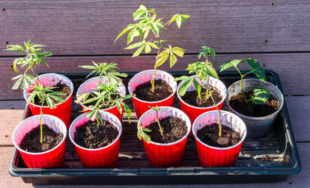 Nine small marijuana plant clippings growing in red solo cups in sunshine.
