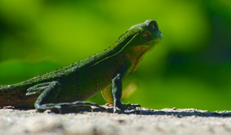 Green lizzard with green background