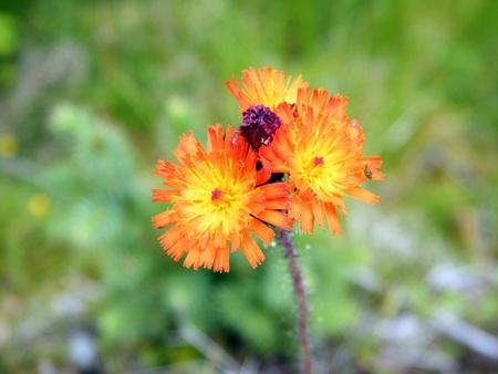 hawkweed: Tiny Flowers