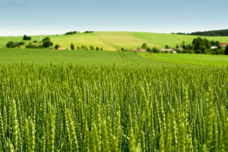 Wheat field and countryside scenery Stock Photo - 14911192