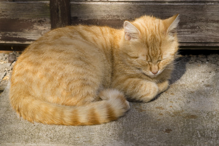contentment: Ginger cat huddled on the ground and resting in cool place in shade