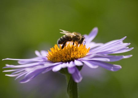 pollinate: Aster purple flower from the side in detail, with pollinate bee on it, green background Stock Photo