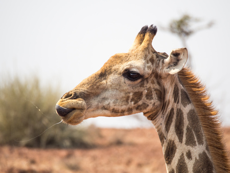Portrait of a giraffe licking its lips with saliva flying through the air. Photo taken in the Palmwag Conservancy in Namibia. Stock Photo