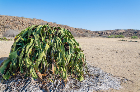 Largest known Welwitschia Mirabilis plant growing in the hot arid Namib Desert of Angola.