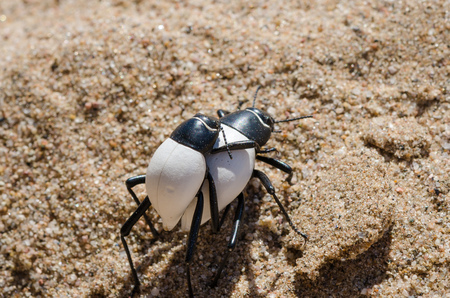 adaptation: Two black and white bugs carrying each other piggyback over hot sand of Namib Desert in Angola. This behaviour and their white color shows an amazing adaptation to this hot and arid environment.