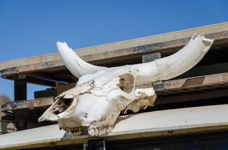 White skull of cow with impressive horns bleached by the desert sun of Angola.
