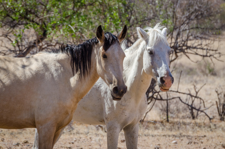 unbound: Two wild horses roaming through the Namib Desert of Angola on a hot and sunny day.