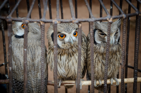 Three cute owls sitting in metall cage to be sold at voodoo fetish market in Benin, West Africa. Stock Photo