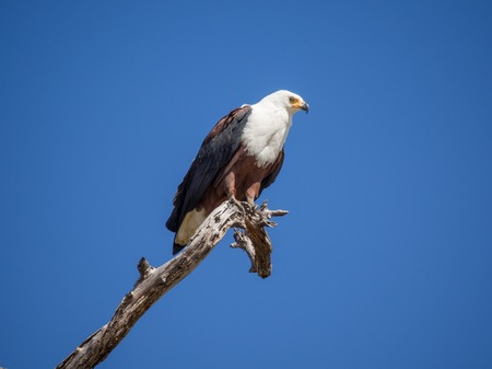Portrait of African Fish Eagle sitting on dead tree branch with lots of blue sky