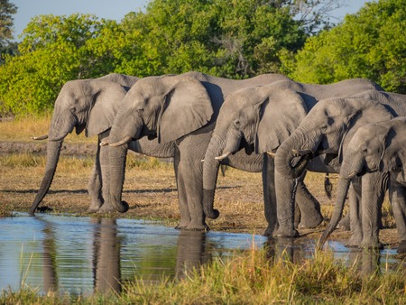 Large group of elephants drinking in row at waterhole in golden afternoon light