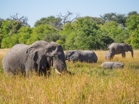 Large herd of African elephants grazing in tall river grass with green trees in background Фото со стока