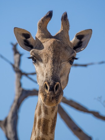 Portrait of curious giraffe loooking straight to the viewer Stock Photo