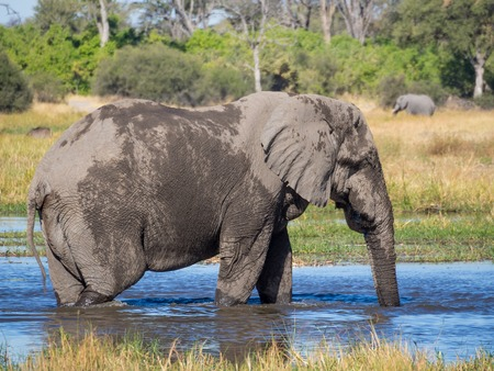 Huge elephant bull drinking from river water