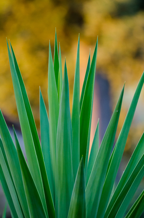 Artistic closeup of Yuca plant with long sharp leafs and beautiful yellow bokeh, Italy, Europe