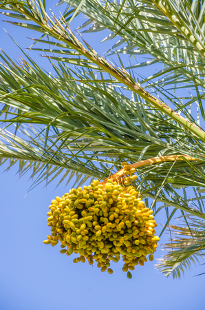 Golden yellow dates growing and hanging off palm trees in oasis, Morocco, North Africa.