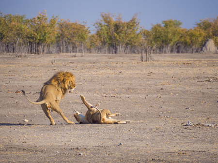 Male and female lion in a rough and action filled play, Etosha National Park, Namibia, Africa Stock Photo
