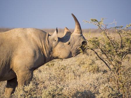 Portrait of large endangered black rhino feeding on small bush in Etosha National Park, Namibia, Africa