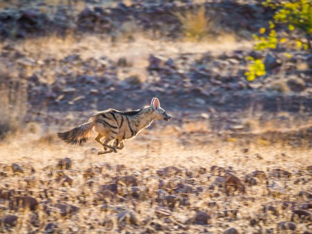 Rare nocturnal Aardwolf running or fleeing in golden afternoon light