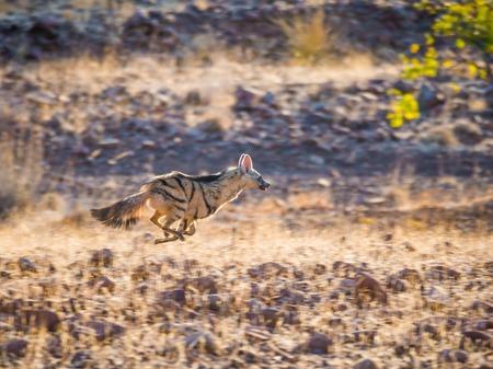 Zeldzame nachtelijke Aardwolf die in gouden middaglicht rennen of vluchten Stockfoto