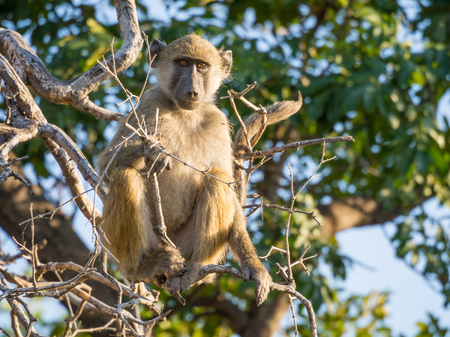 Portrait of young African savannah baboon sitting in branch of a tree on sunny day, Chobe NP, Botswana, Africa