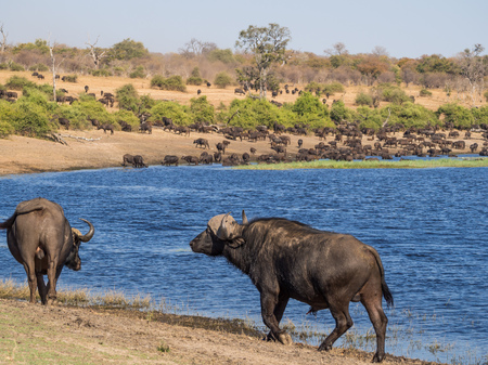 Large herd of water buffalos drinking from Chobe River with two animals in foreground, Chobe NP, Botswana, Africa