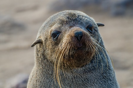 Portrait of beautiful South African fur seal at large seal colony, Cape Cross, Namibia, Southern Africa Stock Photo