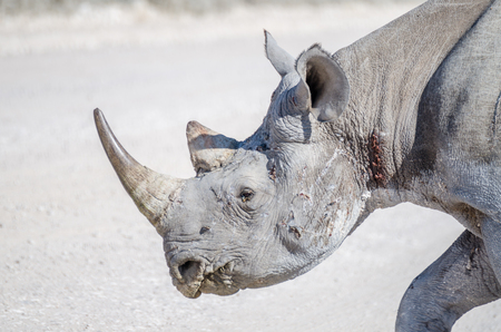 Close-up portrait of head of African black rhino with battle scars and injuries, Etosha National Park, Namibia, Africa