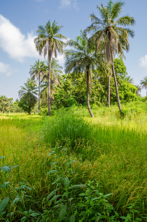 Landscape with lush green grass and high palms in the interior of The Gamiba, West Africa