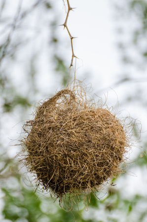 Elaborately built African masked weaver bird nest hanging dangerously from single twig, The Gambia, West Africa