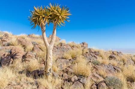 Beautiful exotic quiver tree in rocky and arid Namibian landscape, Namibia, Southern Africa Stock Photo