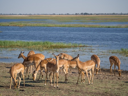 Group of impala antelopes feeding and grazing in front of Chobe River, Chobe National Park, Botswana, Africa Stock Photo