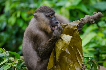Portrait of a young monkey feeding on leaf in rain forest of Nigeria