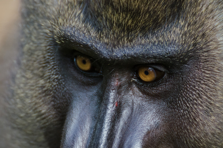 Closeup portrait of a monkey drill in rainforest of Nigeria
