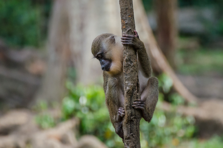 Young monkey climbing small tree in rainforest of Nigeria Stock Photo