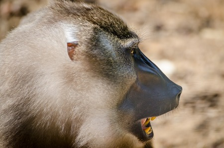 Portrait of drill monkey with open mouth in rainforest of Nigeria Stock Photo