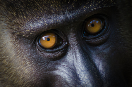 Closeup portrait of young monkey drill in rainforest of Nigeria