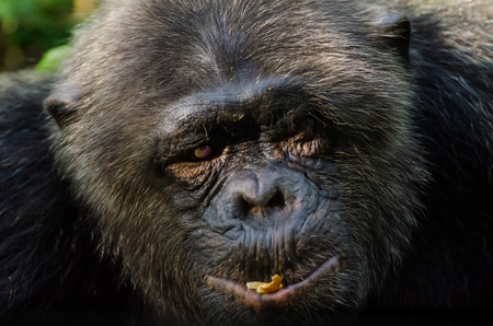 Portrait of old chimp with injured eye