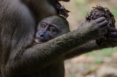 Drill monkey baby in arms of a mother in the rain forest of Nigeria