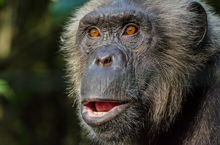 Portrait of wild looking chimp