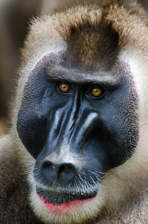Portrait of a big monkey male alpha male in rainforest of Nigeria Stock Photo