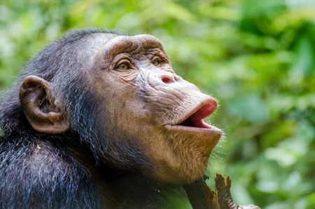 Portrait of happy chimp hooting with green background