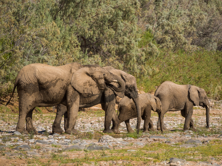 Desert elephant family drinking from puddle of water in Hoarusib river bed, Namibia, Southern Africa Stock Photo